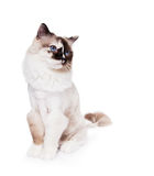 Ragdoll Cat haircut. Funny shaved Ragdoll Cat with a lion style haircut seated and looking to the side on a white background. Grooming helps with shedding. Copy royalty free stock photography