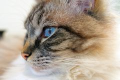 Ragdoll Cat Head Portrait Close Up Stock Photo