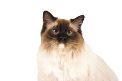 Ragdoll cat head shot isolated on white. Ragdoll cat head shot, deep-etched, isolated, on seamless white Royalty Free Stock Photo