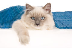 Ragdoll cat hiding under blue rug Royalty Free Stock Photos