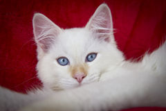 Ragdoll Cat. Image of a ragdoll cat on a red background Royalty Free Stock Images