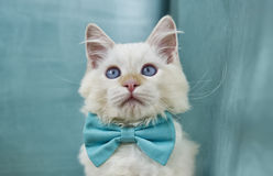 Ragdoll Cat. Image of a very cute Ragdoll Cat sporting a blue bowtie royalty free stock images