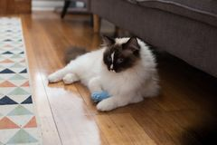 Ragdoll cat playing with a blue knitted mouse toy stock image