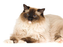 Ragdoll cat isolated on white Royalty Free Stock Photography