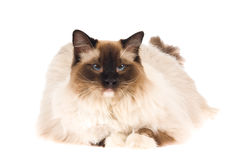 Ragdoll cat isolated on white stock photos