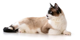 Ragdoll cat. Laying down isolated on white background Stock Image