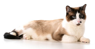 Ragdoll cat. Laying down isolated on white background royalty free stock photography