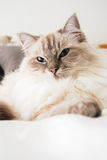 Ragdoll Royalty Free Stock Image