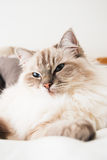 Ragdoll Royalty Free Stock Photography
