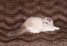Ragdoll cat and leopard skin Royalty Free Stock Photo