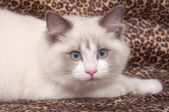 Ragdoll cat and leopard skin Stock Photography