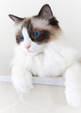 Ragdoll Cat Looking Down Stock Images