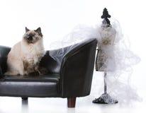 Ragdoll cat looking regal Stock Images