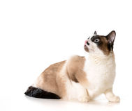 Ragdoll cat. Looking up isolated on white background Royalty Free Stock Photography