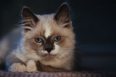 Ragdoll cat lying and looking annoyed stock image