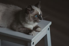 Ragdoll cat lying and looking outside royalty free stock images