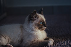 Ragdoll cat lying and looking straight ahead royalty free stock photography