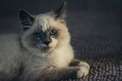 Ragdoll cat lying and looking straight into camera stock image