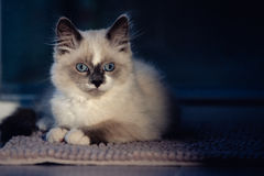 Ragdoll cat lying and looking straight into camera royalty free stock photography