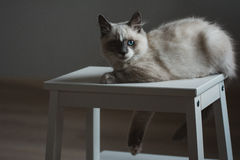 Ragdoll cat lying and looking straight royalty free stock photography