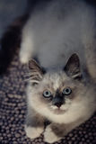 Ragdoll cat lying and looking up stock photography