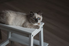 Ragdoll cat lying and looking up royalty free stock image