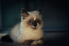 Ragdoll cat lying neatly and looking straight into camera stock photography