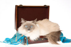 Ragdoll cat lying in suitcase on white bg Stock Photo