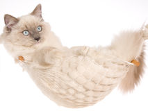 Ragdoll cat lying in white hammock Stock Images