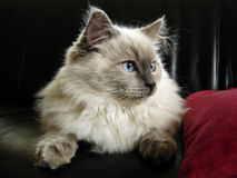 Ragdoll cat. Meet Boris, a cat from the Ragdoll breed. Developed by American breeder Ann Baker, it is best known for its docile and placid temperament and Stock Photography