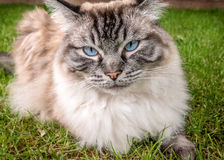 Ragdoll Cat Outdoor Portrait Fotos de archivo