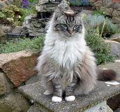 RAGDOLL CAT. OUTDOORS LOOKING AT CAMERA royalty free stock image