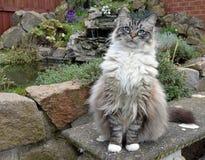 RAGDOLL CAT. OUTDOORS LOOKING AT CAMERA Stock Image