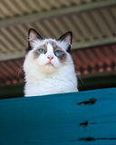 Ragdoll Cat Peering Royalty Free Stock Photo