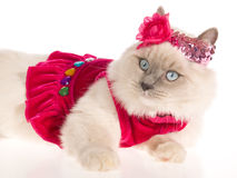 Ragdoll cat with pink frilly dress. Ragdoll cat wearing pink dress and shiny head band, on white background Royalty Free Stock Photos
