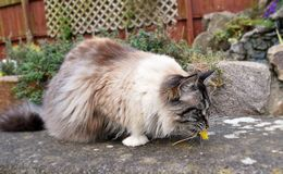 RAGDOLL CAT PLAYING WITH A DANDELION. FULL PEDIGREE SEAL LYNX MITTED CAT PLAYING OUTDOORS WITH A DANDELION Royalty Free Stock Image