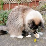 RAGDOLL CAT. PLAYING OUTDOORS WITH A DANDELION Stock Images