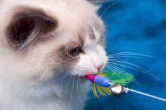 Ragdoll cat playing with toy on blue Stock Photo