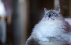 Ragdoll. Cat ponint happy blueeyes Stock Photography