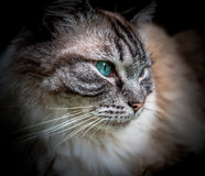 Ragdoll Cat Portrait fotografie stock