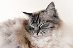 RAGDOLL CAT PORTRAIT Stock Photo