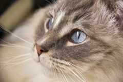 Ragdoll Cat Portrait Royalty Free Stock Photography
