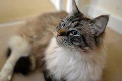 RAGDOLL CAT. Portrait of a Ragdoll cat indoors Stock Image