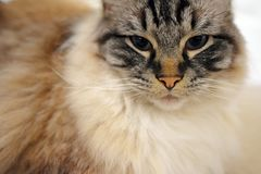 RAGDOLL CAT. Portrait of a Ragdoll cat looking at camera indoors Royalty Free Stock Image