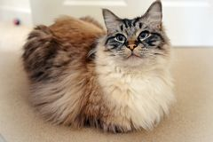 RAGDOLL CAT. Portrait of a Ragdoll cat looking at camera indoors stock image