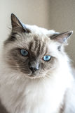 Ragdoll Cat. Portrait of Melo, a one year old Ragdoll Cat Stock Images