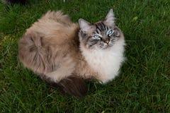 Ragdoll cat Royalty Free Stock Image