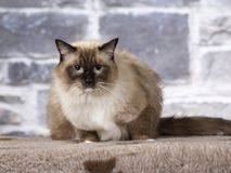 Ragdoll cat portrait. Ragdoll cat portrait, image taken in a studio with stone background stock images