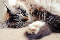 RAGDOLL CAT. Portrait of a Ragdoll Seal lynx mitted cat indoors Stock Image