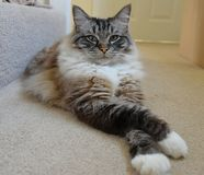 RAGDOLL CAT. Portrait of a Ragdoll Seal mitted lynx cat with crossed legs Royalty Free Stock Images